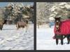 snow-ponies